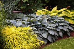 Colorful Landscape Shrubs | Hakonechloa macra 'All Gold' Middle: Hosta 'Halcyon' Right: Hosta 'Sum ...