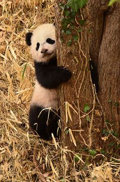Bao Bao - Panda cub | 140402 cd 612 | Craig Salvas | Flickr