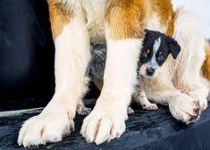 Australian Cattle Dog Puppy, St Bernards, St Bernard Dogs, Dog Pin, Dog Boarding, Dogs Of The World, Dog Lovers, Corgi, Saints