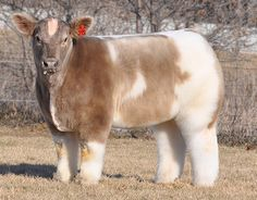 Fluffy show cows exist