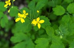 Greater Celandine Plant Info: Information About Celandine In Gardens - Greater celandine is an interesting, attractive flower known by several alternate names. Click on this article for greater celandine plant into, including concerns about greater celandine in gardens. Learn more here.