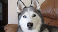 Siberian Husky Howling Do your Dogs Howl? - Fan Friday #18 Howling Dog H...