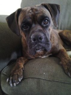 Cutest Boxer on the planet!  ♡Bruno♡