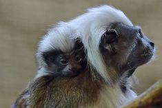 Saguino : new-born cotton-top tamarin - Martin Meissner/AP Photo
