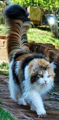 Calico Main coon?  This kitty is beautiful and proud of her plume.  :)