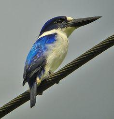 Blue-and-white Kingfisher, Sulawesi & Halmahera