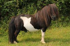 Shetland Pony Stallions - Butterstor Elliott AM1740