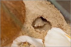 A hermit crab burrow in sand. Great info on molting in the article. Hermit Crabs, Tropical Fish, Ethnic Recipes, House, Animals, Food, Home, Animaux, Haus