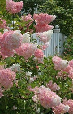 Lovely Vanilla Strawberry Hydrangea! 🍃🌸🍃  Does best in full sun. Its mature height is 6-7 feet, with a spread of 4-5 feet. This summer-flowering shrub is hardy in Zones 4-8!