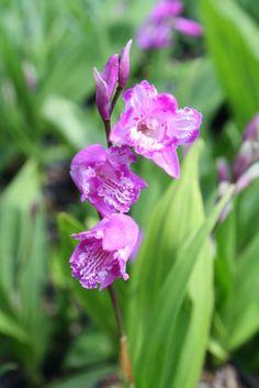 Bletilla striata 'Tri-Lips' (Tri-Lips Perennial Ground Orchid)