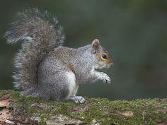 Image result for grey squirrel