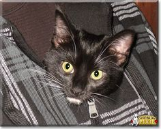 Read Pixie's story the Tuxedo shorthair from Newland, North Carolina and see her photos at Cat of the Day http://CatoftheDay.com/archive/2015/January/28.html