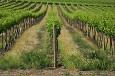 Washington's Yakima Valley has the perfect climate and soil for grape growing.