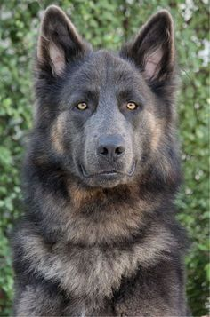 Awesome German Shepherd dog