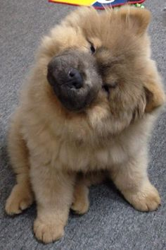 Chow Chow. Open those eyes little buddy!