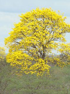 Tabebuia chrysantha-Araguaney