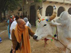 Bhaktivedanata Swami Goshala (ISKCON Vrindavana) (Album 17 photos)