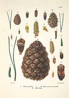 botanical drawings pinus pinea - Buscar con Google