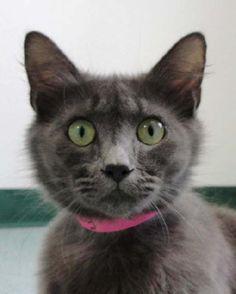 Cat ready for adoption: Domestic Short Hair / Mixed (medium coat) named Smokey in San Antonio, TX