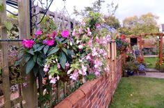 Hanging basket pink fushias & Busy lizzie sept 14