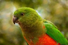 King Parrot by cps images on @creativemarket