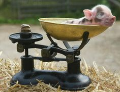 Piglet, cuteness by the pound