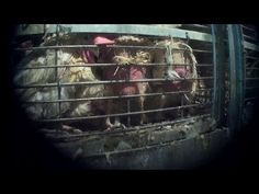 Minnesota Hen Slaughter Exposé: Birds Abused, Scalded Alive Daily : The Humane Society of the United States