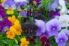 Sorbet Supreme Mixed Pansy Variety   Plant & Flower Stock Photography: GardenPhotos.com