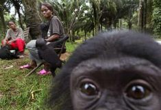 An infant bonobo monkey in the Congo basin//The Congo basin is boasts a wealth of biodiversity, including over species of plants, species of birds, and 400 species of mammals Primates, Mammals, World Thinking Day, Chimpanzee, Orangutans, Little Monkeys, Bird Species, Exotic Pets, Animal Kingdom
