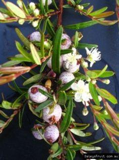 "Australian Bush Tucker Midyim berry - Austromyrtus dulcis ""Copper Tops"" compliments of all natives"