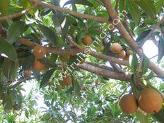 Fruit tree sapodilla