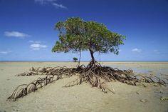 Mangrove tree!