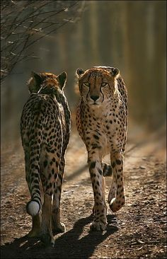 """Cheetahs: """"Celia dear! I hate to tell you this; but you are going in the wrong direction! Nairobi is THIS way!"""""""