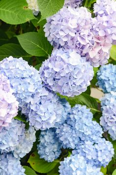 Cape Cod Hydrangea Season: When to Go Hydrangea Season, Nantucket Beach, Planting Garlic, Coastal Gardens, Backyard Landscaping, Hydrangea Landscaping, Rock Retaining Wall, Autumn Garden, Plant Wall