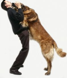 Tips for Understanding a Dog who Jumps on Guests: If your dog jumps on you when you arrive home, he's the pack leader. | Dog Fancy