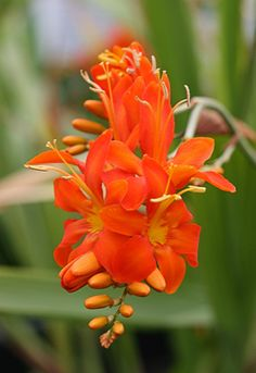 """Crocosmia masonorum  flaming red-orange flowers add a spark of fire to the back of any border or bed in Summer! Blooms are big & tightly spaced on 3' stems, perfect for dramatic floral arrangements & attracting hummingbirds. Deep green, narrow, attractive 24"""" tall foliage. This South African native spreads via corms.  Sun  Low-Average Water  Perennial Corm  Zones 5a-10"""