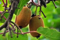 Como plantar Kiwi. O kiwi é uma fruta de origem chinesa e bem típica em climas…