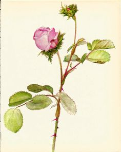 Gorgeous VINTAGE ROSE PRINT Pink Rose Antique by UpcycleFarmer