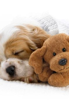 Cocker Spaniel puppy snuggling with it's teddy pal
