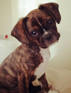 Buddy the Mixed Breed - Boston Terrier and Cavalier Mix - Its perfect <3