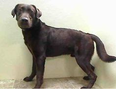 SAFE --- URGENT - Brooklyn Center    CONNER - A0990457   MALE, CHOCOLATE, LABRADOR RETR, 1 yr  STRAY - ONHOLDHERE, HOLD FOR ID Reason STRAY  Intake condition NONE Intake Date 01/27/2014, From NY 11208, DueOut Date 01/30/2014,   https://www.facebook.com/photo.php?fbid=748225361857012&set=pb.152876678058553.-2207520000.1390864685.&type=3&theater