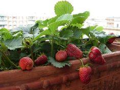 Saiba como cultivar morangos em vasos - PlantaSonya - O seu blog sobre cultivo de plantas e flores