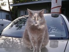 Duchess.  Neighbor's cat, moved in with us!  Sweet girl.  She liked to pull our hair with her teeth.