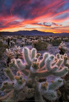 Cholla cactus illuminated by a spectacular desert sunrise in Joshua Tree National Park