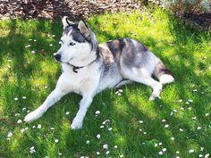 Laika, Siberian Husky #Hund #dog #widPet - Hundemarken mit QR-Code http://www.wid-pet.com
