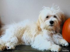 Photo Gallery - HavaHug Havanese Puppies