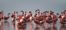 Flamingos in Nakuru, Kenya. Awesome sight. Was always one of the exciting parts about travelling to my home village to visit my grandparents and other relatives.