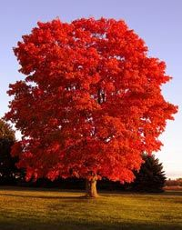Acer Rubrum Red Maple Tree