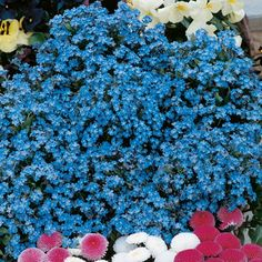 Forget-Me-Not Seeds - Spring Symphony Blue - 113472 - Flowers to Sow in July - When to Sow Flowers - Flower Seeds - Gardening Unusual Flowers, Edible Flowers, All Flowers, Growing Flowers, Planting Flowers, Flowering Plants, English Bluebells, Forget Me Not Seeds, Sutton Seeds