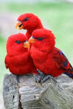 Red lories (lorikeets). Australia.